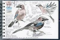 3月の野鳥:カケスハナさんのブログより - ブルーベルの森-ブログ-英国のハンドメイド陶器と雑貨の通販