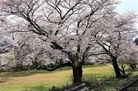 大井川鉄道のSLと桜 - 気まぐれカメラ散歩