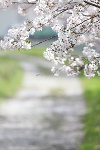 サクラ咲きました。 - 平凡な日々の中で