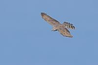 鳴門海峡を渡るタカ Ep5 - 野鳥の視線
