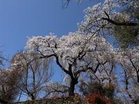 桜だより(14) ~わ鉄撮影の帰り道で~ (2021/3/29撮影) - toshiさんのお気楽ブログ