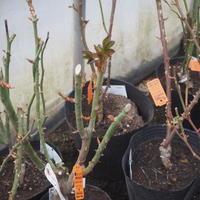 バラとクレマチスのご予約について - sola og planta ハーブを育てながら