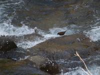 何気なく渓流を・・・カワガラス。 - 鳥見んGOO!(とりみんぐー!)野鳥との出逢い