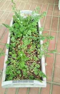こぼれ種からの発芽情報 ~3種 <その後:2> - 健気に育つ植物たち