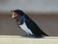 玄鳥至 - 万葉集の世界