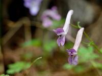 清明玄鳥至(つばめきたる) - 紀州里山の蝶たち