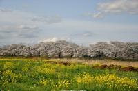 桜巡り2021 ~ 思川の桜堤 - 季節の風を追いかけて