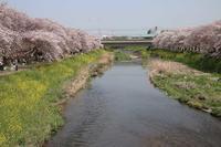 川沿いの桜並木と、途中で見た野草など - 子猫の迷い道Ⅱ