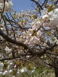桜満開と日よけシェード(テイジン製) - 東京ガーデニングスタイル~ガーデン日和~
