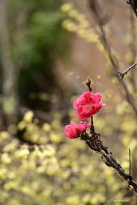 我が家の花桃 - 今日の空+α2