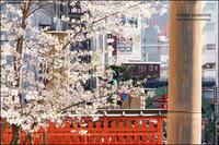 街と桜と - 和む由もがな