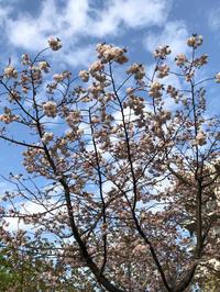 松月桜♪花盛り - Let's Enjoy Everyday!