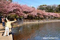 満開の頃 『三浦海岸河津桜2021』⑰ - 写愛館