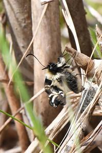 羽化するギフチョウ - 続・蝶と自然の物語