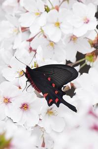 桜・・ジャコウアゲハ - 続・蝶と自然の物語
