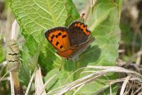 白化型を探しに - 蝶と蜻蛉の撮影日記