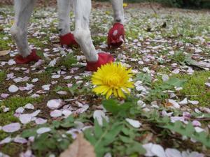 お花見散歩 - ジャックラッセルテリア  Cubの日々