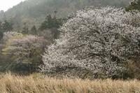 桜と黄砂とミツマタ - 四季燦燦 癒し系~^^かも風景写真