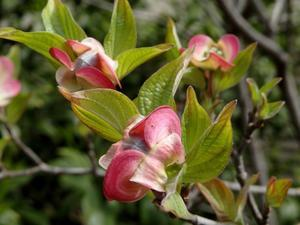 200404--ハナミズキも咲きだしました! - 〔 チュー の ひとり言@デジカメ残日録 〕