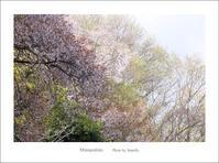 抹茶と桜あん - Minnenfoto
