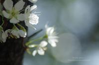 春の花2021*Ⅱ -李- - It's only photo 2