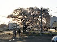 桜が美しい・・・しかし・・・ - 仙台市民のいつ更新するか分からないブログ