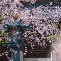 本覚寺のしだれ桜 - エーデルワイスブログ