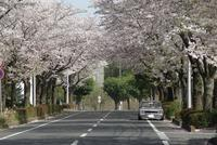 2021最後の桜 - ハコスカ写真館