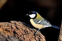 みちのく春の小鳥4 - みちのくの大自然