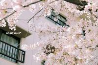 4月 - Angel Voice*