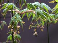 春のモミジ - しらこばとWeblog