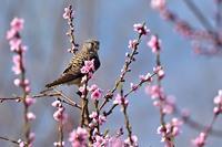 桃の花 - 心のままに
