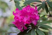 高蔵寺の西洋石楠花 - あだっちゃんの花鳥風月
