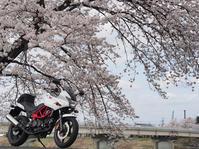 四年振りの一目千本桜を愛でるショートツーリング - あつまれVTR乗り