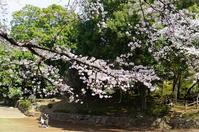 ものすごく大きな桜の木! - Let's Enjoy Everyday!