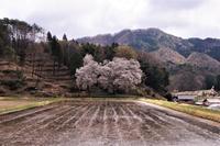 今年の御大師桜(頓原・張戸) - じじ & ばば の Photo blog