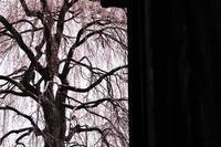 寺で枝垂れる - フォトな日々