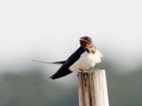 多々良沼にいたツバメ・ヒバリ・モズです。 - コーヒー党の野鳥と自然パート3