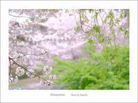 抹茶と桜あん~その2 - Minnenfoto