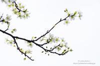 春の花2021*Ⅲ -李- - It's only photo 2