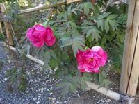 牡丹が咲いた - しゅんこう日記