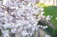桜の季節が通り過ぎて - Pistachio green