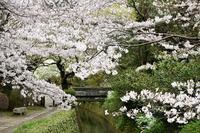 桜の京都③ - バラとハーブのある暮らし Salon de Roses