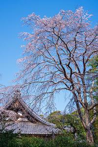 安国論寺のしだれ桜 - エーデルワイスブログ