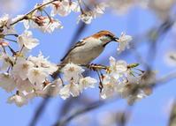ニュウナイスズメ♂:桜・さくら・サクラ2021 - バード・アイ・ライフ