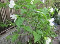 山吹と蓑のお話 - 花の自由旋律