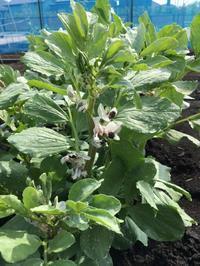空豆の花が咲きました。 - ワクワク♪ハマっ子野菜作り♪