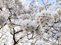 桜の花をゆっくり観ました - comfortable DAYs