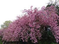 ヤエザクラ - Magnolia lane 3