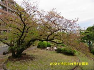 桜樹の若葉芽吹き - 寄り添いの日々
